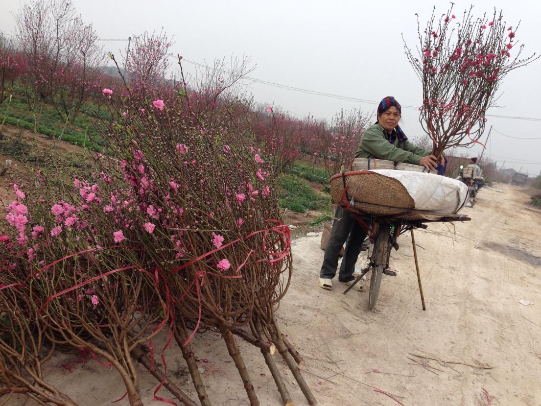 Đào được thu hoạch và đóng gói theo quy cách hàng không để chuẩn bị vận chuyển, phục vụ nhu cầu của người dân cả nước.